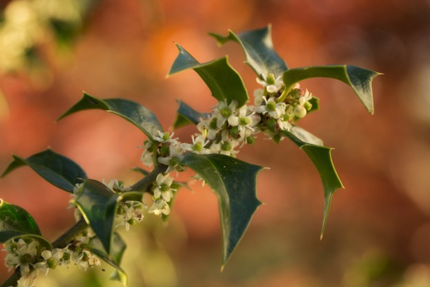 130506_Emerging_Holly Blossoms by Karl Graf.