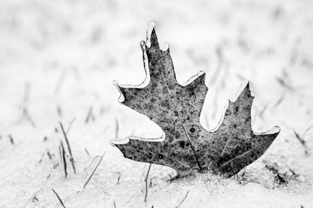 131209_Leaf in Snow by Karl Graf.