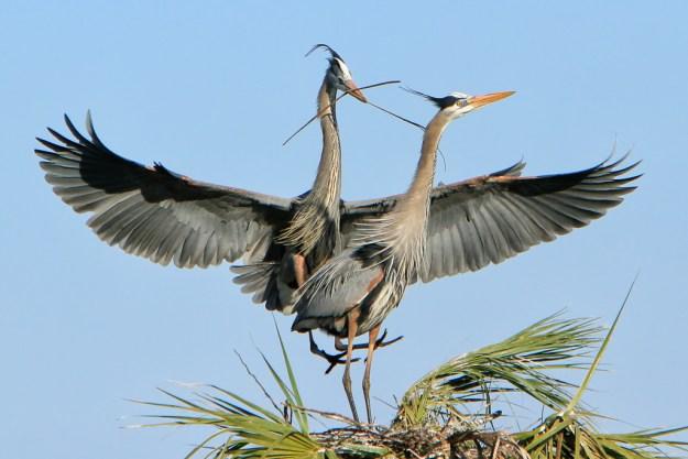 140130_Nesting Herons by Karl G. Graf.