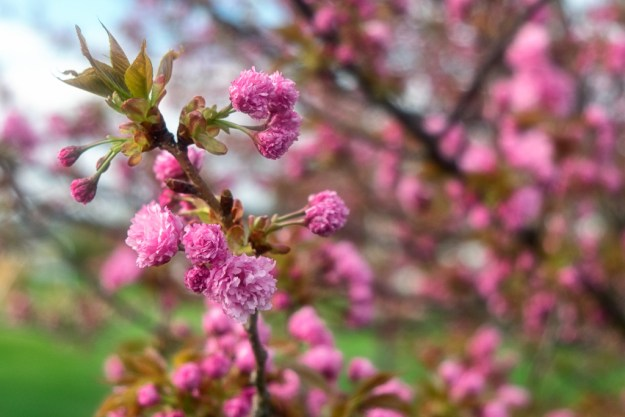 140503_First Cherry Blossoms by © 2013 Karl Graf.