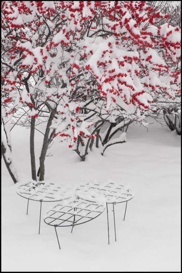150126_Winterberry in Snow by .