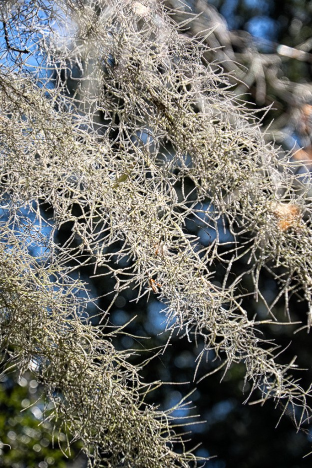 150210_Spanish Moss- Close up by .