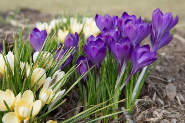 150407_Purple&Gold_Crocus_SOC by Karl Graf.