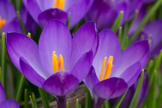 150410_PurpleCrocus_SOC by Karl Graf.