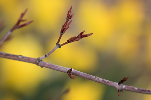 150418_Japanese Maple Leaf Buds by Karl G. Graf.