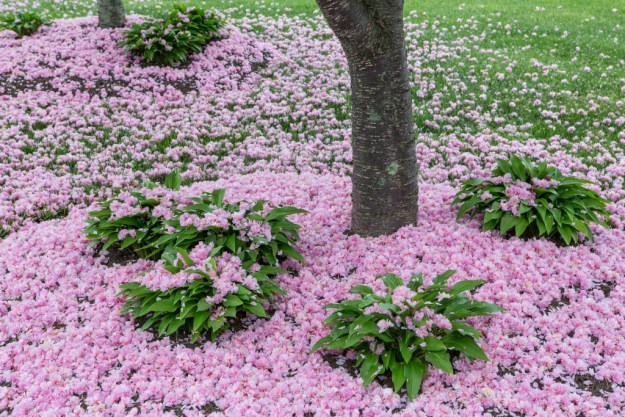 150513_More Fallen Cherry Blossoms-1 by Karl Graf.