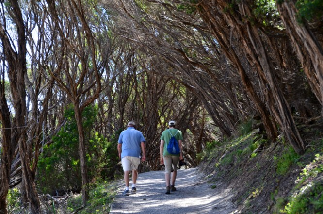 Shady walk under the tea trees