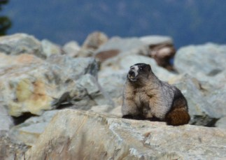 Oh no, it's a marmot