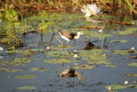 Seeing a jacana walk on waterlilies