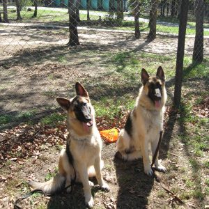 Well socialized male Heidelberg's German Shepherd Dogs