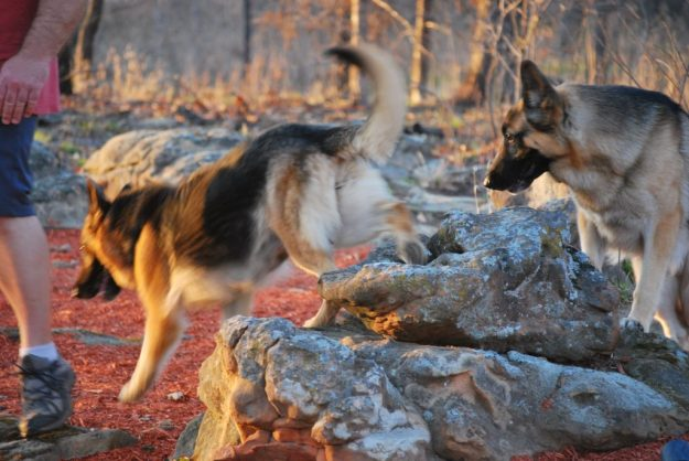 Two Richly Pigmented German Shepherd Dogs Playing