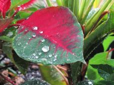 """Raindrops on Poinsettia"""