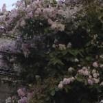 オオバナサルスベリ 満開の花