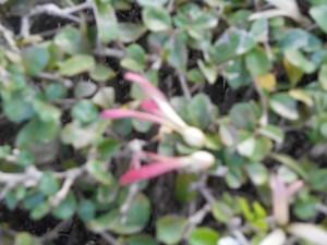 アリノキ 地上に落ちた花