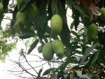 Mango/ マンゴー