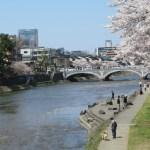浅野川の桜 ソメイヨシノ