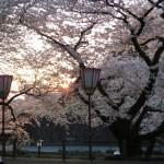夕日の金沢城 ソメイヨシノ