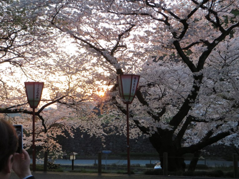 夕日の金沢城と桜