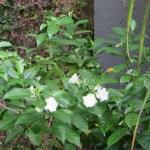 マツリカ 花と木の姿