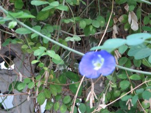 花のアップ バタフライピー