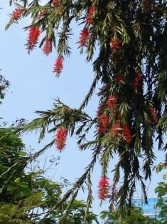 ブラシノキ 花と木の姿