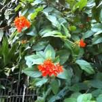 サンタンカ オレンジ系花弁がやや丸い