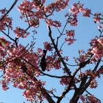 カワヅサクラ 花に来た小鳥