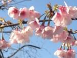 Taiwan cherry; Kannhi/ カンヒサクラ