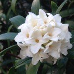 ジンチョウゲ 白花アップ