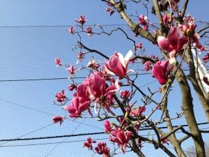 モクレン 青空に映える花