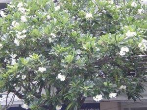プルメリア 木の全景
