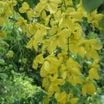 ゴールデンシャワー花の接写