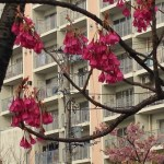 ヒカンザクラ こじんまりと咲く花