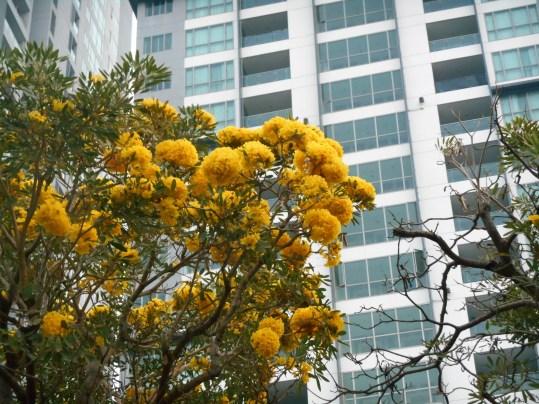 コガネノウゼン 見事な花つきの木
