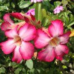 Desert rose/ アデニウム