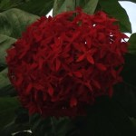 サンタンカ 赤花系 アップ