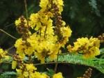 Yellow flamboyant/コウエンボク