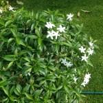 サンユウカ 花と木の姿