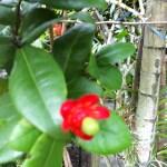 ミッキーマウスツリー まだ若い花