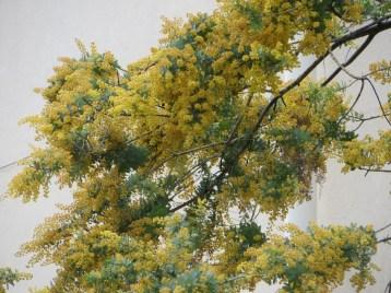 ミモザ・アカシアの花