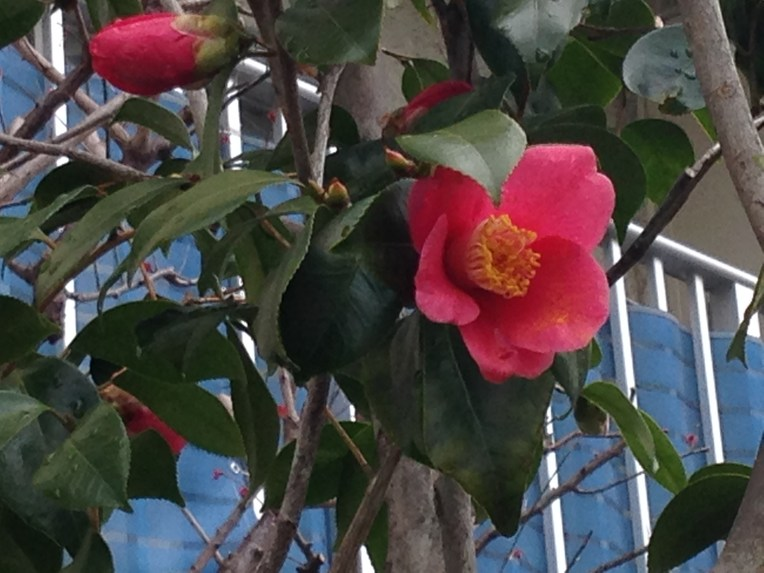 ツバキ/ Japanese camellia