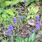 咲き始めたムスカリ
