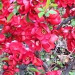 赤花のボケ