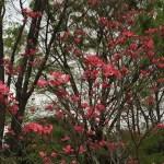ハナミズキ 赤花全景