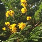 強い光に映える花 コウエンボク