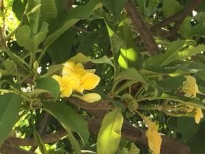 プルメリア 黄色系の花 アップ