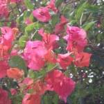 赤系の花 ブーゲンビリア