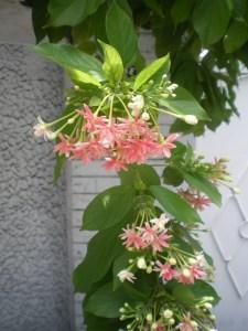 シクンシ 薄めの色の花と蕾