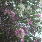 紅白の花 ブーゲンビリア