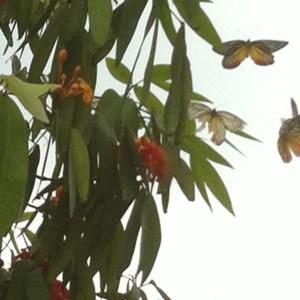 ムユウジュ 花の周りで乱舞する蝶